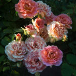 NEW! Fall Rose Care Guide!