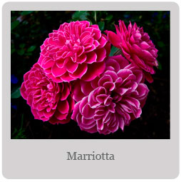 Marriotta Mesa-East Valley Rose Society