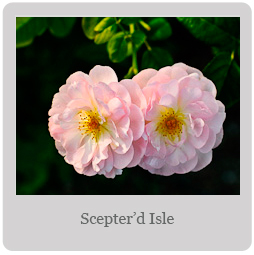 Scepter'd Isle Mesa-East Valley Rose Society