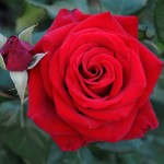 The Fragrance of Roses