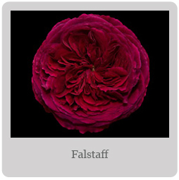 Falstaff Mesa-East Valley Rose Society
