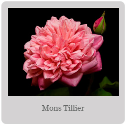 Mons Tillier Mesa-East Valley Rose Society
