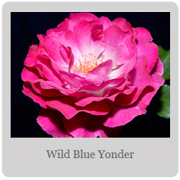 Wild Blue Yonder Mesa-East Valley Rose Society